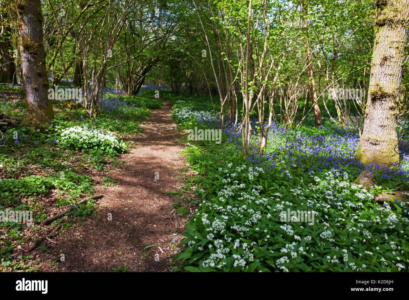 Footpath through Garston Wood RSPB reserve with Bluebell (Hyacinthoides non-scripta) and Ramsons (Allium ursinum) near Shaftesbury, Dorset, UK May - Stock Image