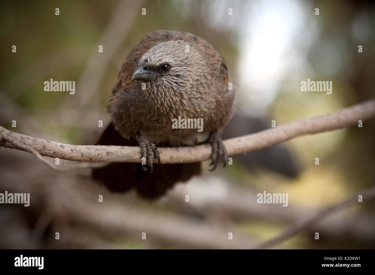 Immature Apostlebird, Struthidea cinerea, sitting on a limb and checking out the photographer. These fun loving highly social birds can often be found ar - Stock Image