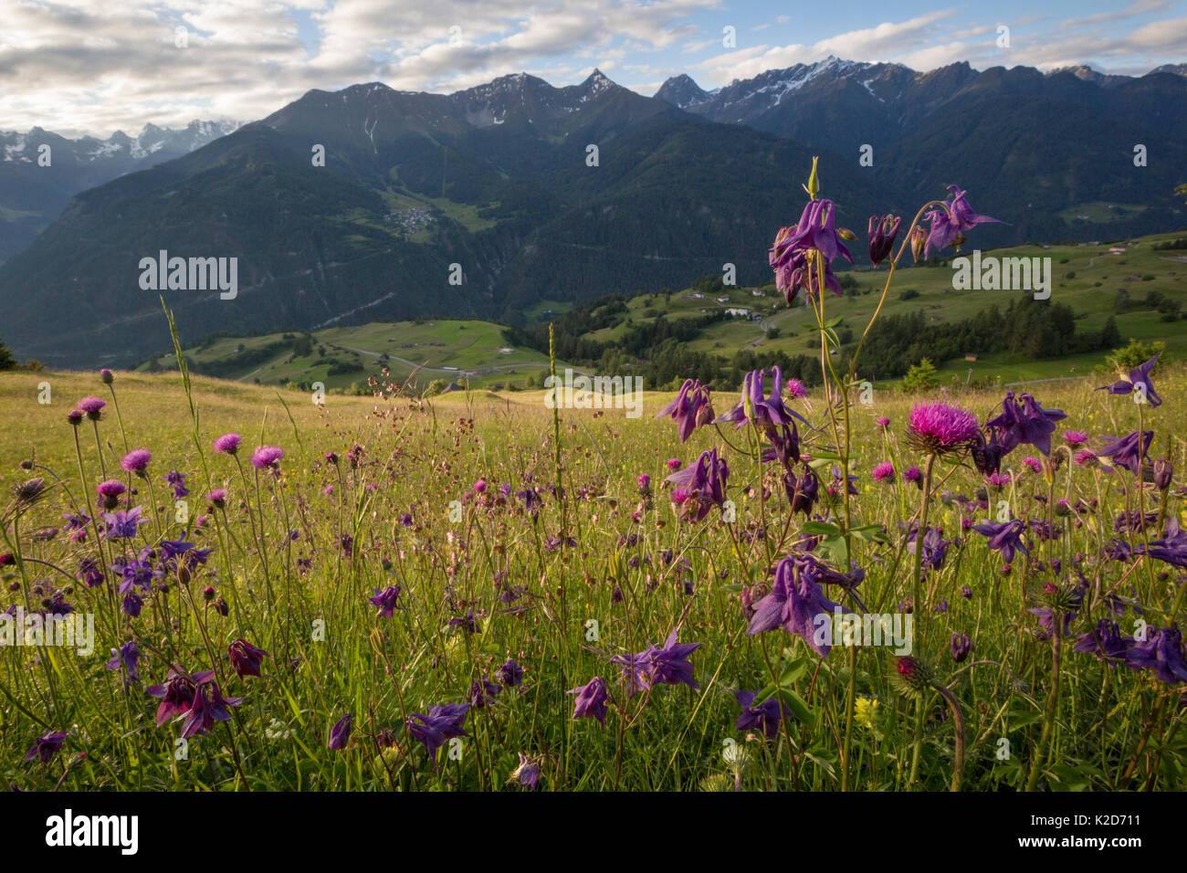 Dark Columbine (Aquilegia atrata) and Tuberous Thistle (Cirsium tuberosum) flowering in tradional hay meadow. Nordtirol, Austrian Alps. June. - Stock Image