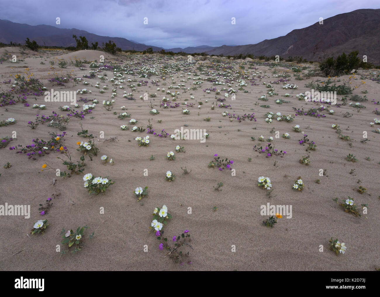 Dune primrose, Sand verbena, and Desert gold emerge from the sand after brief spring rains in Anza-Borrego Desert State Park, California, USA March - Stock Image