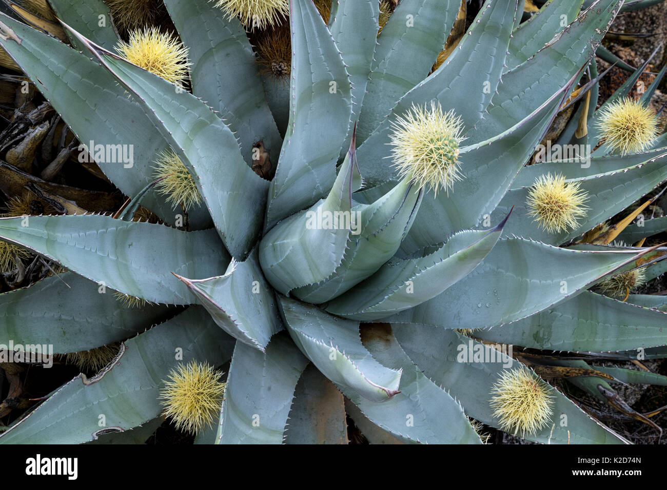 Desert agave (Agave deserti) has skewered a ball of spines shed by neighboring Cholla cactus (Cylindropuntia bigelovii) Anza-Borrego State Park, California, USA March - Stock Image