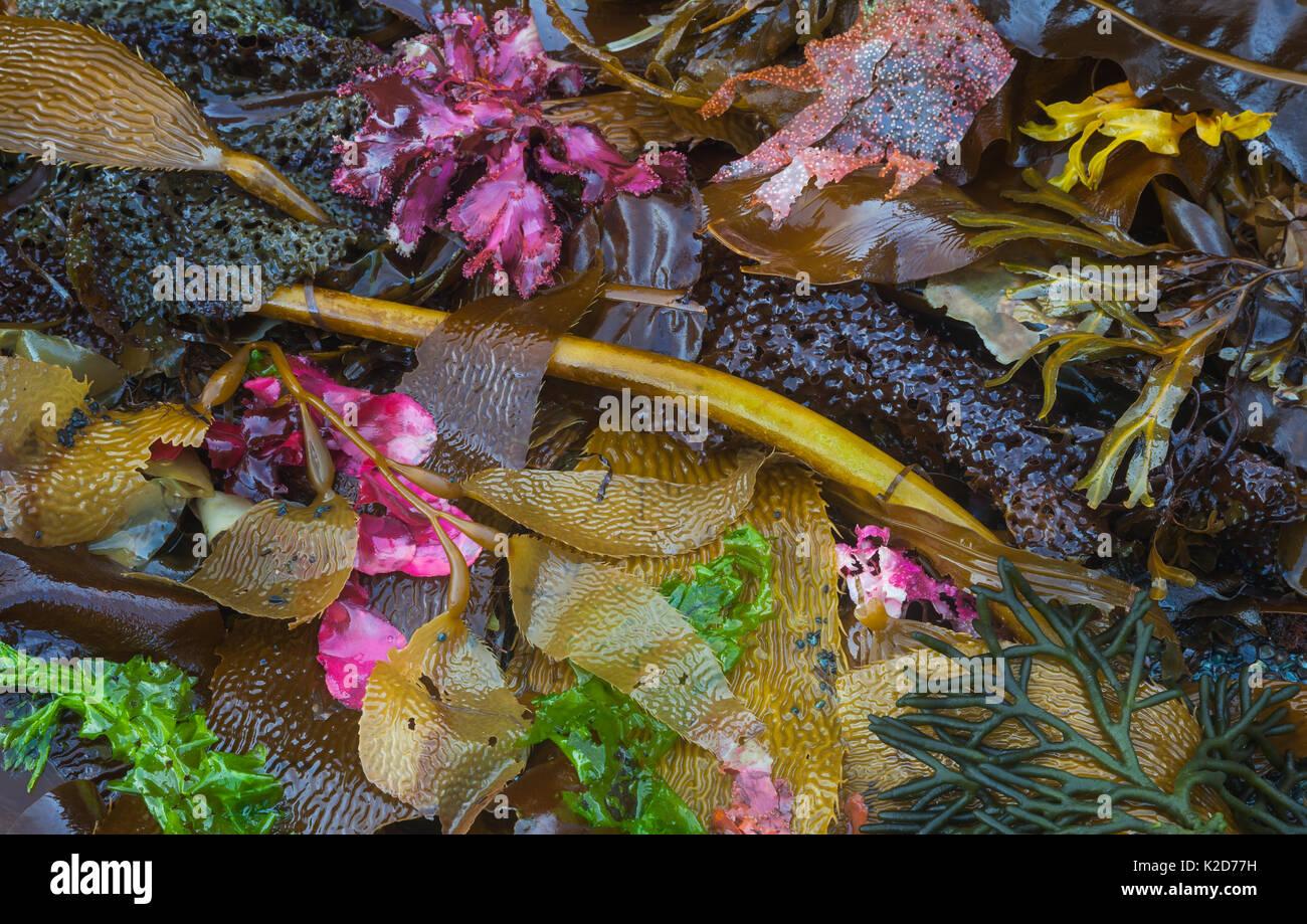 Assorted seaweeds along the coast, Southeast Alaska, USA July - Stock Image