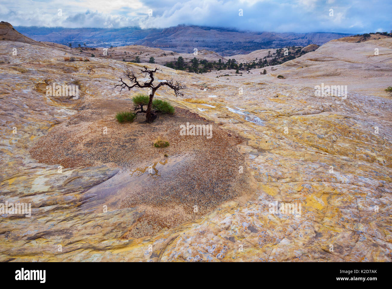 A lonely tree clings to life in the vast sandstone desert of Utah's Escalante National Monument, USA October - Stock Image