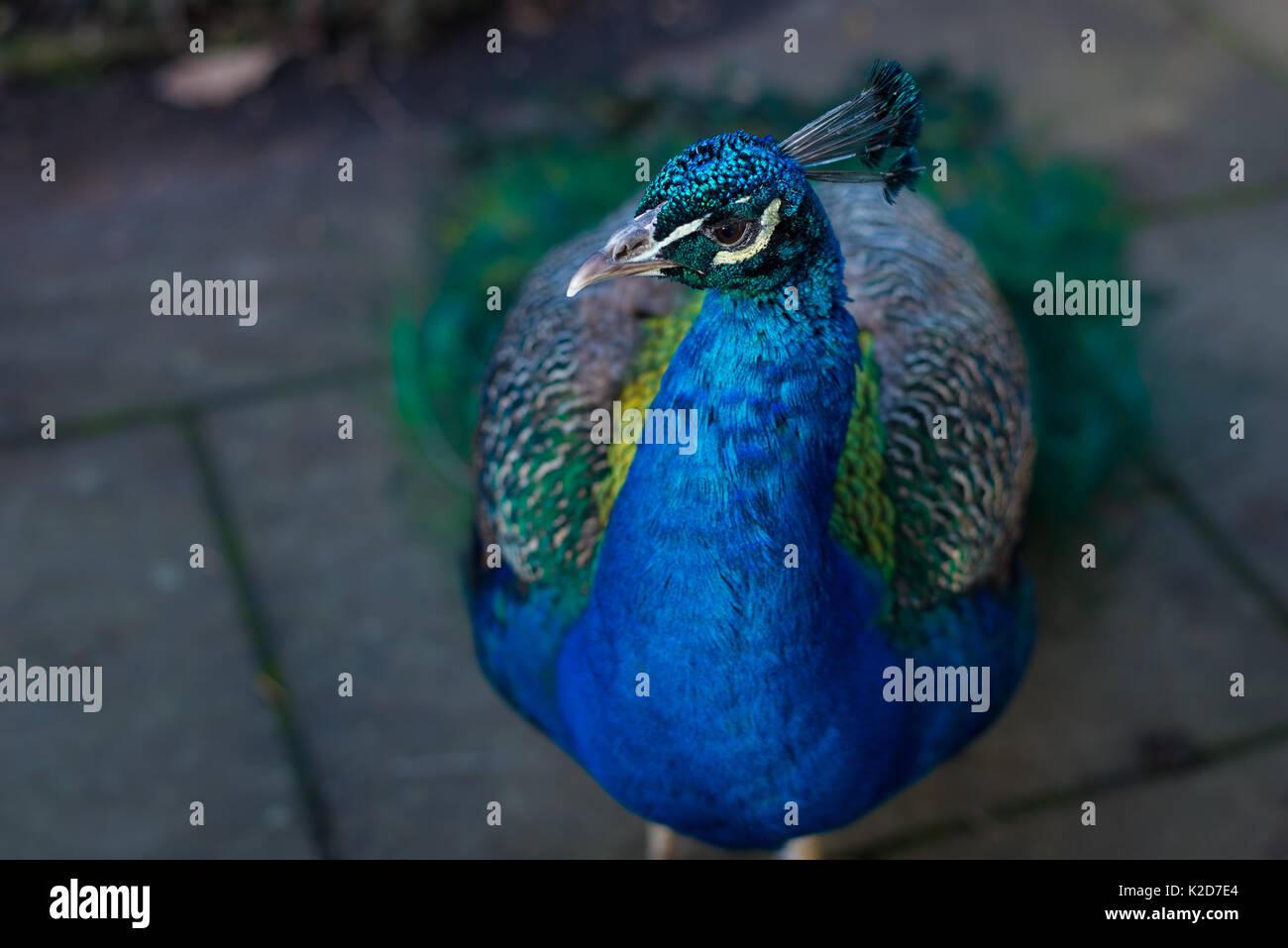Indian peafowl (peacock, pavo cristatus) photographed in London, United Kingdom - Stock Image