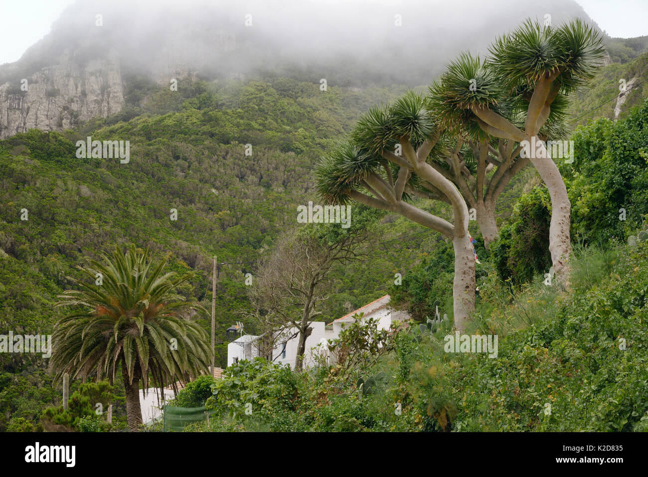 Canary Islands Date Palm (Phoenix canariensis) and Canary Islands dragon tree / Drago (Dracaena draco), a slow growing - Stock Image