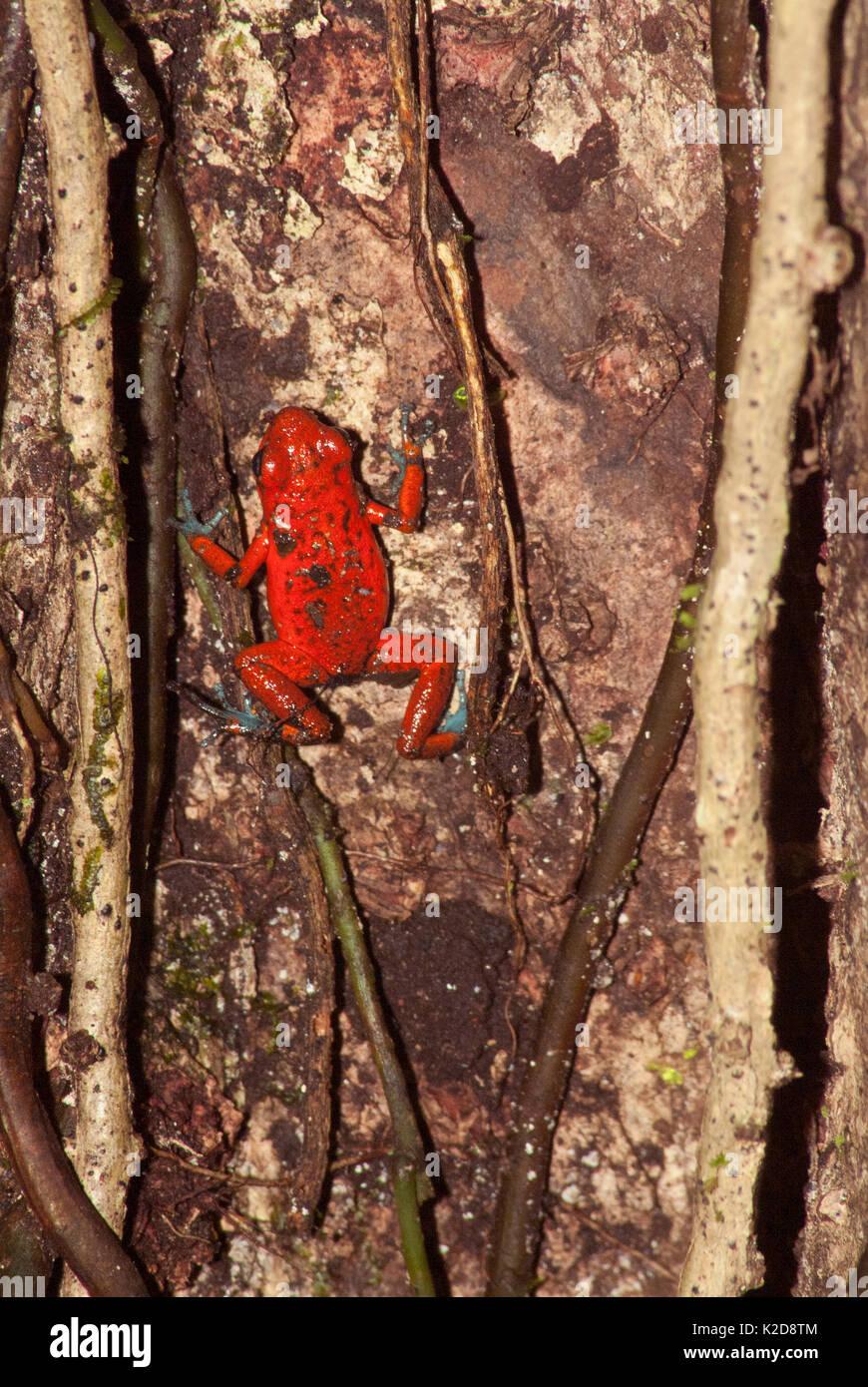 Strawberry Poison-dart Frog on Tree - Stock Image