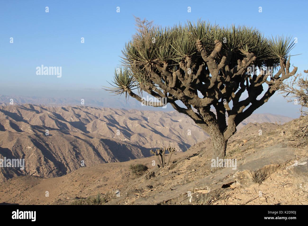 Yemen dragon tree (Dracaena serrulata) in high mountains, Oman, November - Stock Image