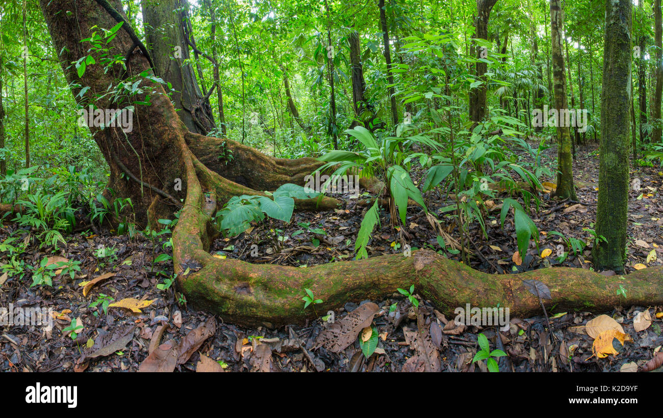 Wild cashew tree (Anacardium excelsum) with large root snaking above the ground, Corcovado National Park, Osa Peninsula, Costa Rica - Stock Image