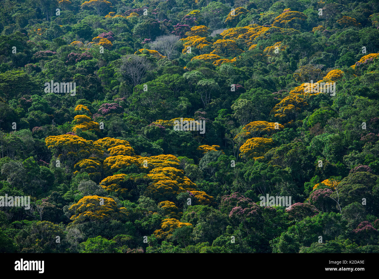 Tropical rainforest canopy with yellow flowering trees, Kupinang region, Guyana, South America - Stock Image