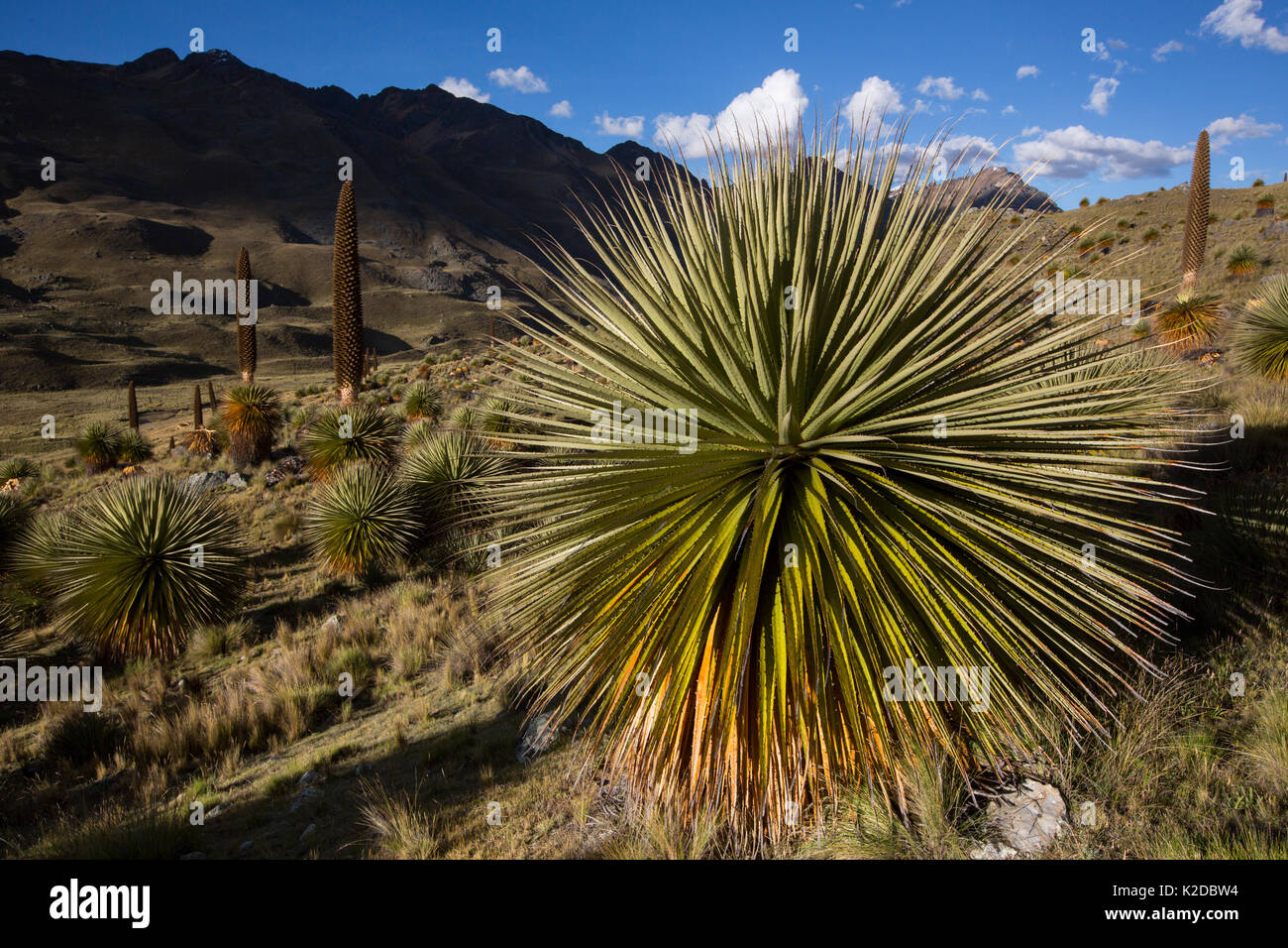 Queen of the Andes (Puya raymondii) plants in steppe, Cordillera Blanca, Andes, Peru Stock Photo