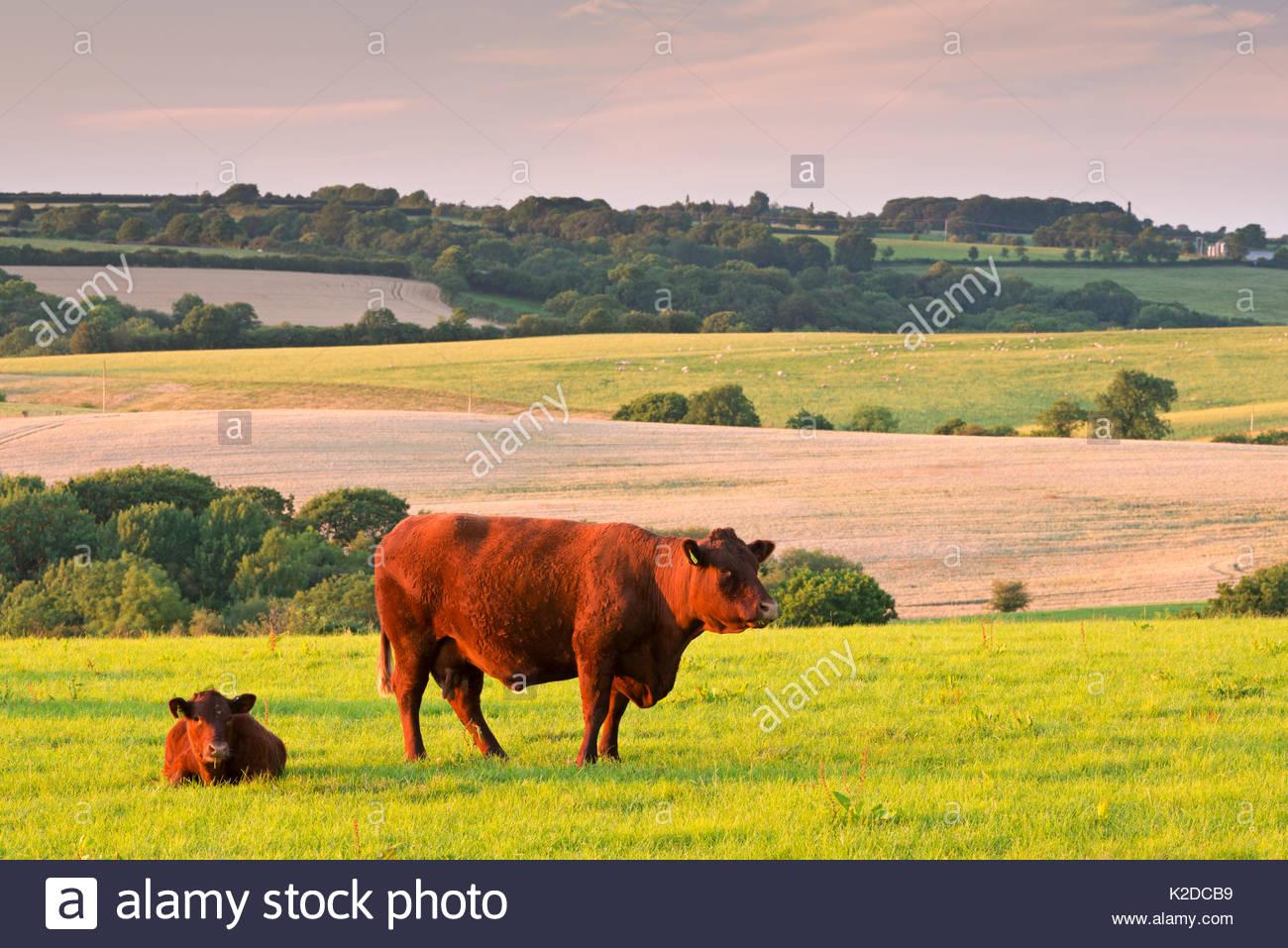 North Devon Red Ruby cattle grazing in summer countryside. Black Dog, Devon, England, UK. July 2014. - Stock Image
