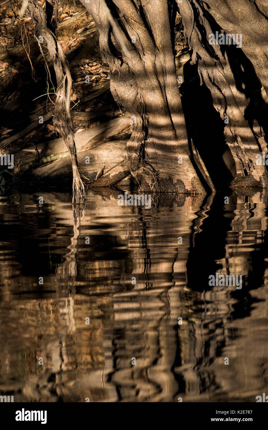 Tree roots, reflection on the Rio Negro, Pantanal, Mato Grosso do Sul, Brazil - Stock Image