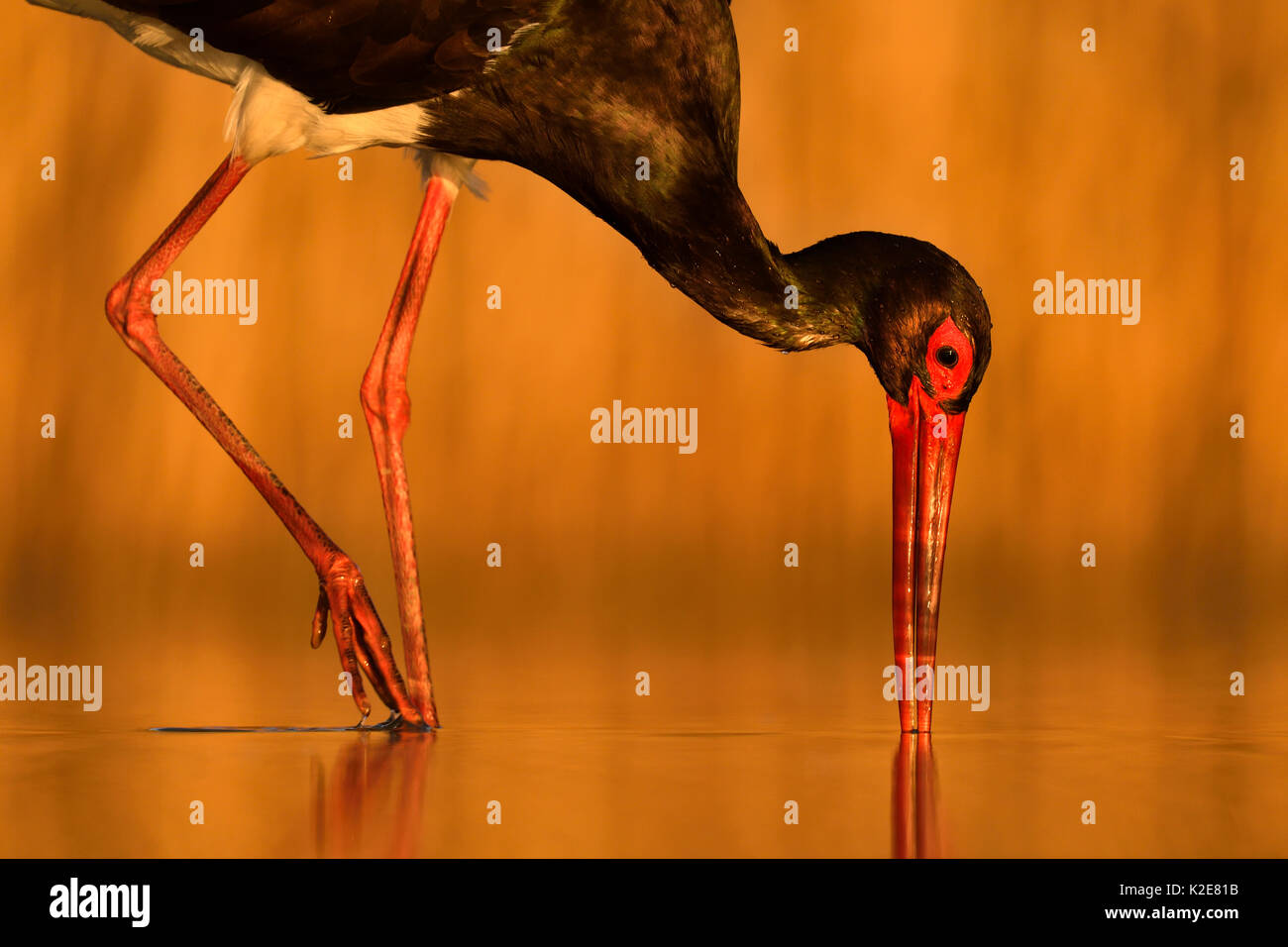 Black stork (Ciconia nigra), while foraging fish, Kiskunság National Park, Hungary Stock Photo