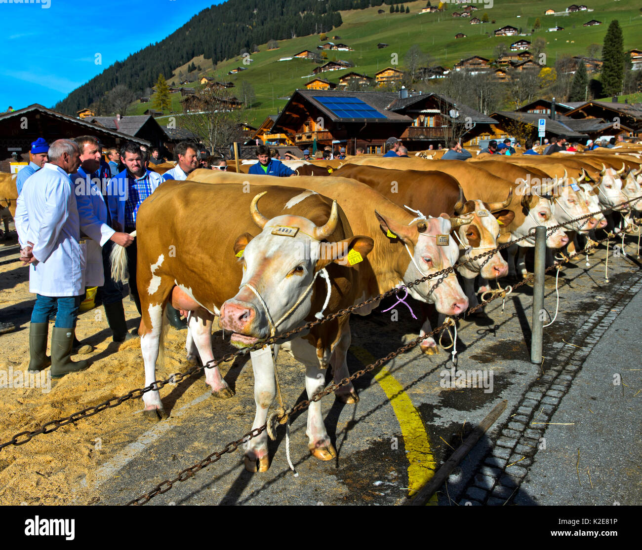 Members of the jury will review Simmental cows at a cattle show, Lauenen, Canton of Berne, Switzerland - Stock Image