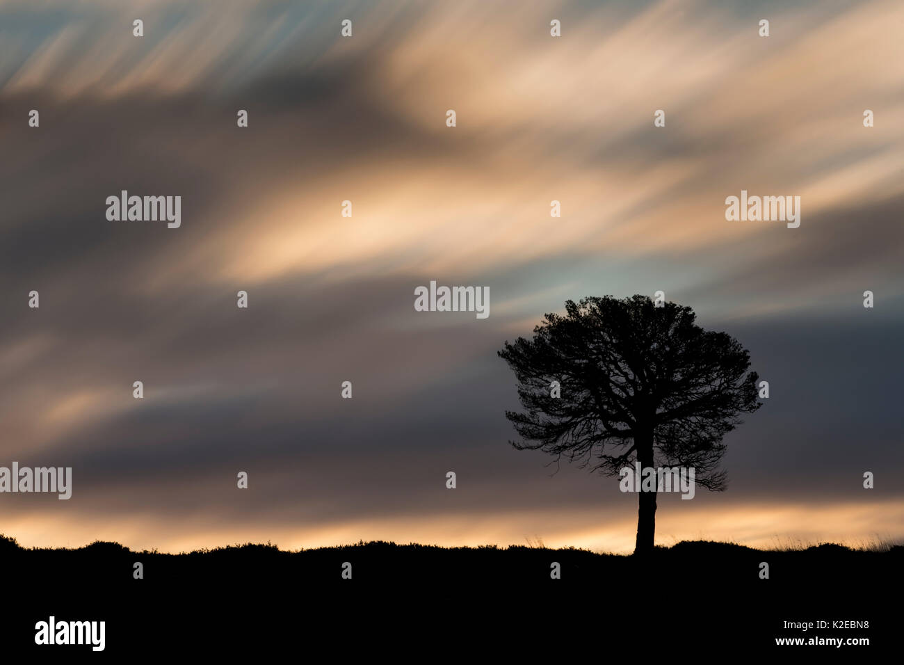 Lone Scots pine (Pinus sylvestris) silhouetted at dawn, Kinveachy Forest, Cairngorms National Park, Scotland, UK, October. - Stock Image