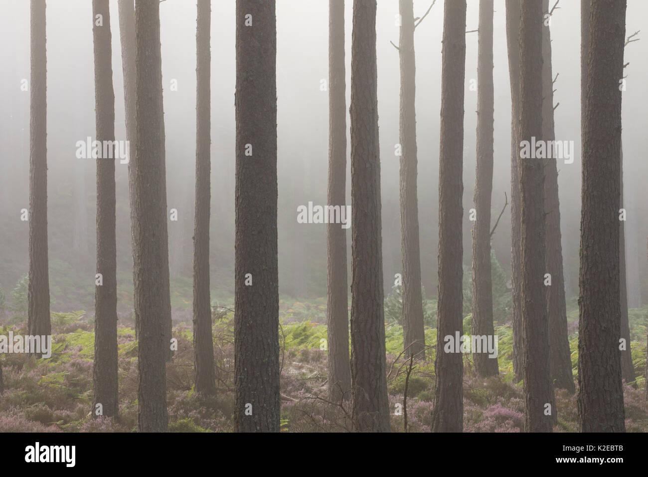 Scots pine (Pinus sylvestris )tree trunks in dawn mist, Rothiemurchus, Cairngorms National Park, Scotland, UK, August. - Stock Image
