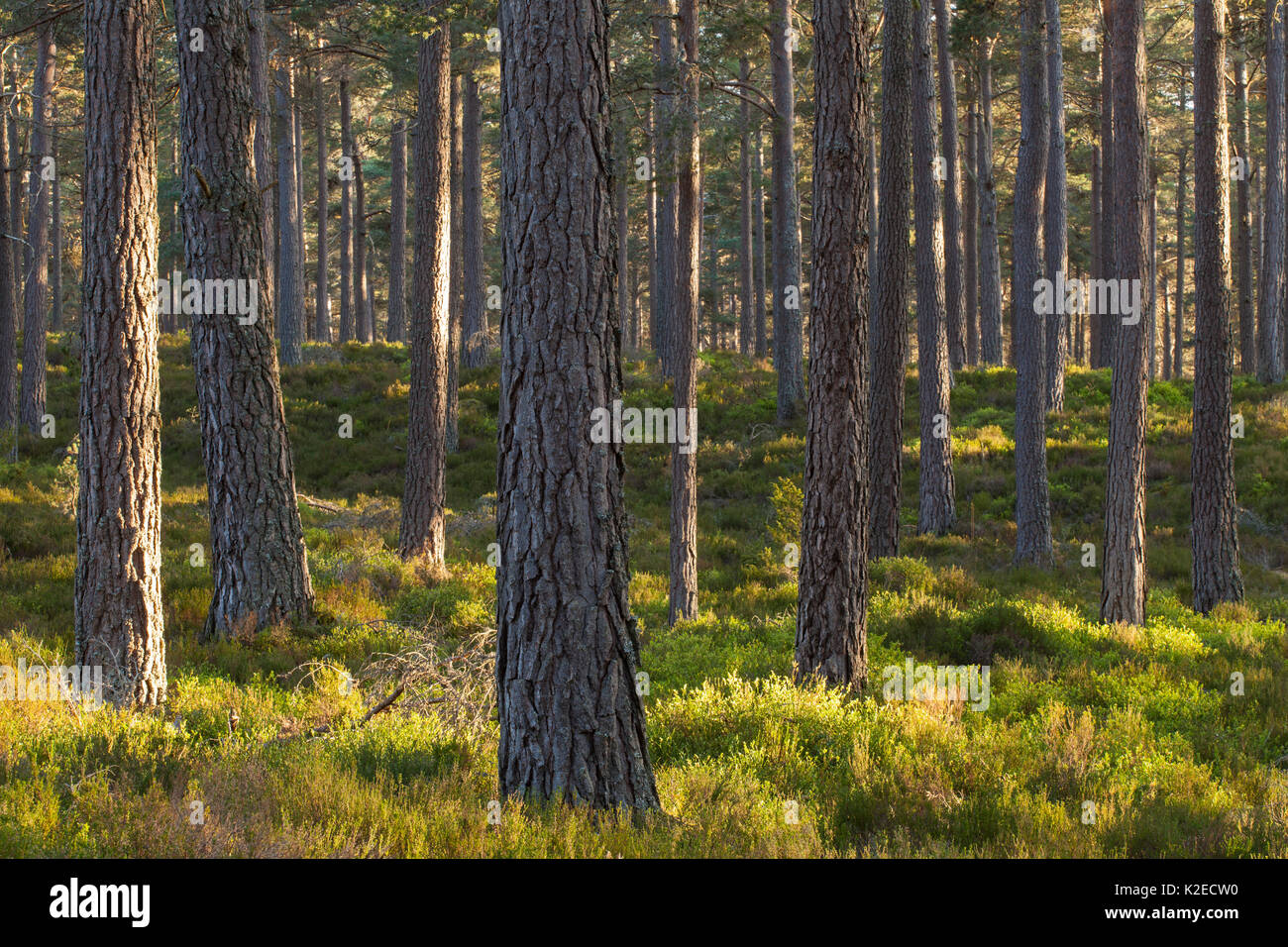 Scots pine (Pinus sylvestris) woodland, Abernethy Forest, Cairngorms National Park, Scotland, UK, May. - Stock Image