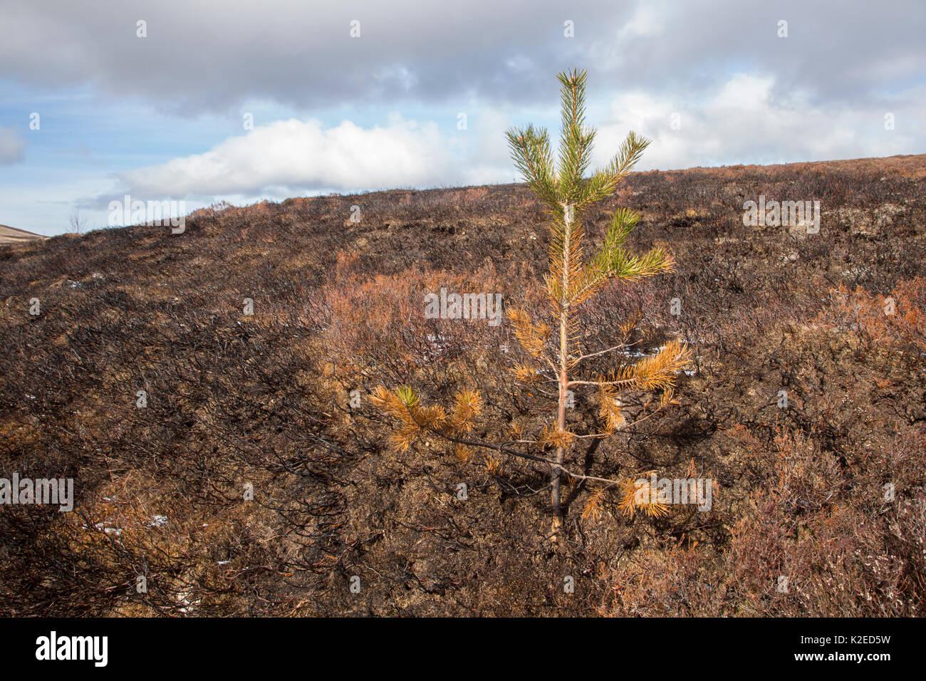 Pine sapling scorched during muirburn / burn on upland grouse shooting moor, Scotland, UK, April 2016. - Stock Image