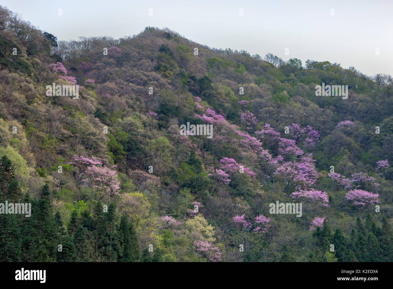 Mountainside forest with flowering cherry trees, Tangjiahe National Nature Reserve, Qingchuan County, Sichuan province, China. April 2015 - Stock Image