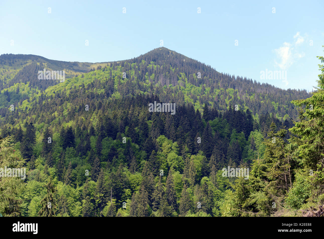 Natural tree cover on the Carpathian Mountains with deciduous trees giving way to conifers on the mountain top, Zakarpattia Oblast, Ukraine.  May. 2016. - Stock Image