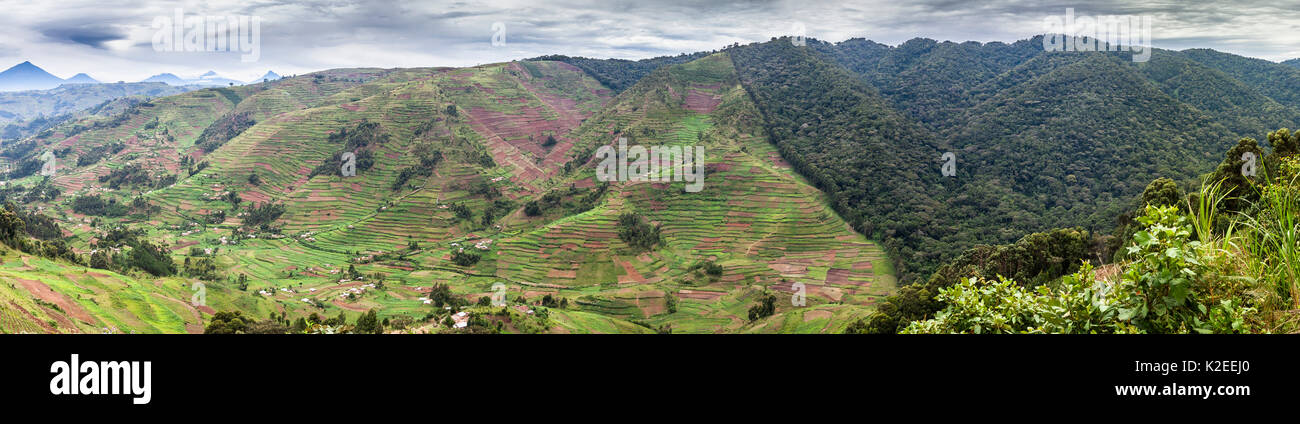 Edge of the Bwindi Impenetrable Forest NP, showing the pressure of development of agriculture, Uganda April 2011 - Stock Image
