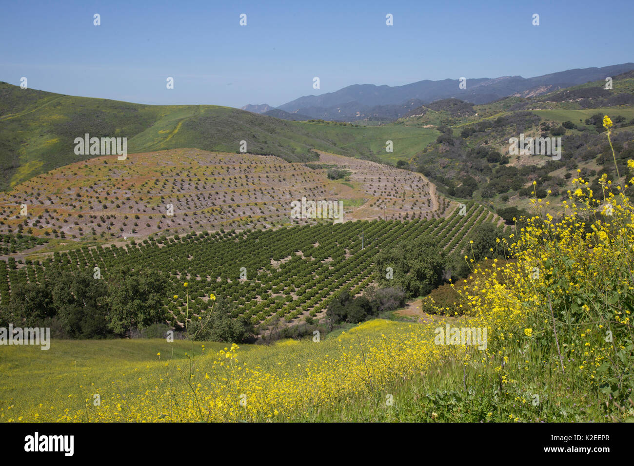 Distant avocado groves with wild mustard growing in foreground, Goleta, California, USA. - Stock Image