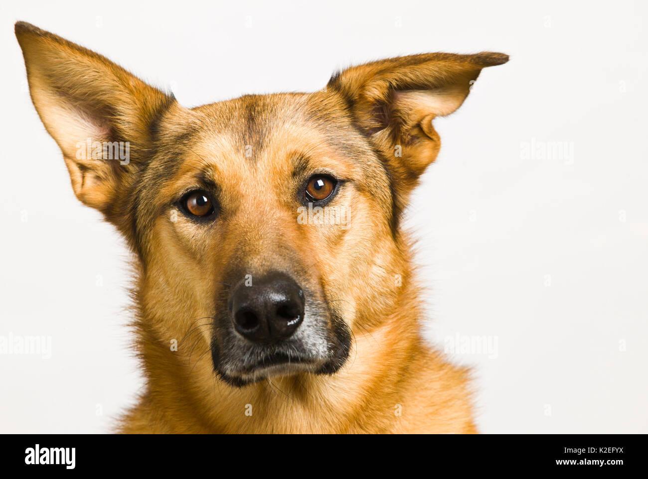 Dog Portrait, German Shepard / Chinook Mix - Stock Image