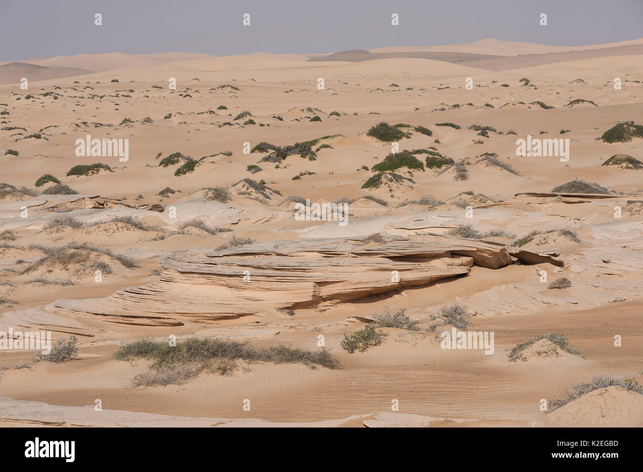 Typical sand desert with sandstone outcrops and sparse vegetation, Rimal Al Wahiba desert, Sultanate of Oman, February. - Stock Image