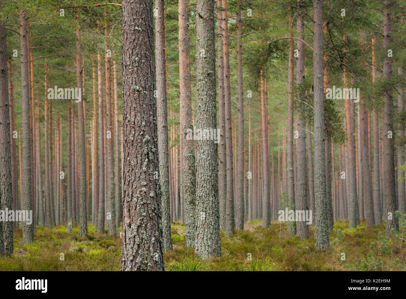 Pine trees on the Balmoral Estate, Deeside, Aberdeenshire, Scotland, UK, May 2014. - Stock Image