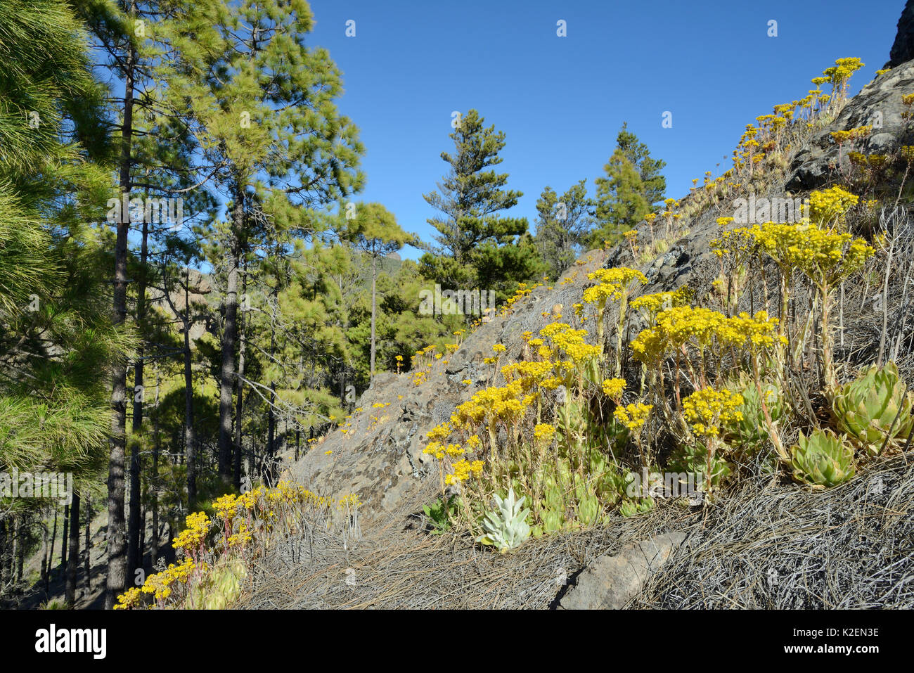 Endemic Aeonium / Tree houseleek (Aeonium simsii) flowering on volcanic mountain slope near a stand of Canary Island Pines (Pinus canariensis), Gran Canaria UNESCO Biosphere Reserve, Gran Canaria, Canary Islands. May 2016. Stock Photo