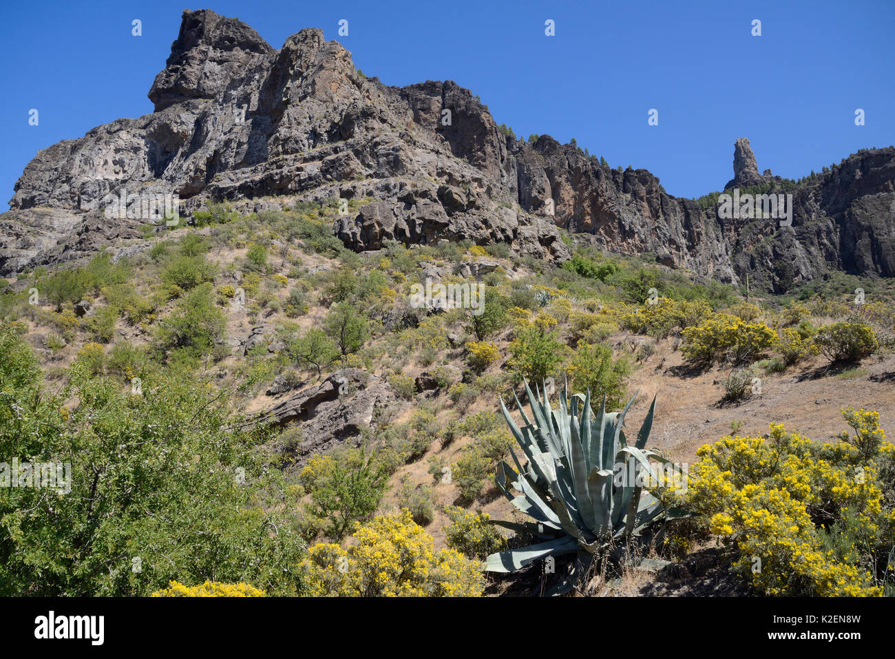 Gran Canaria broom (Teline microphylla) bushes flowering and a Century plant (Agave americana) below Roque Nublo, a volcanic basaltic monolith. Gran Canaria UNESCO Biosphere Reserve, Gran Canaria. Canary Islands., May 2016. - Stock Image