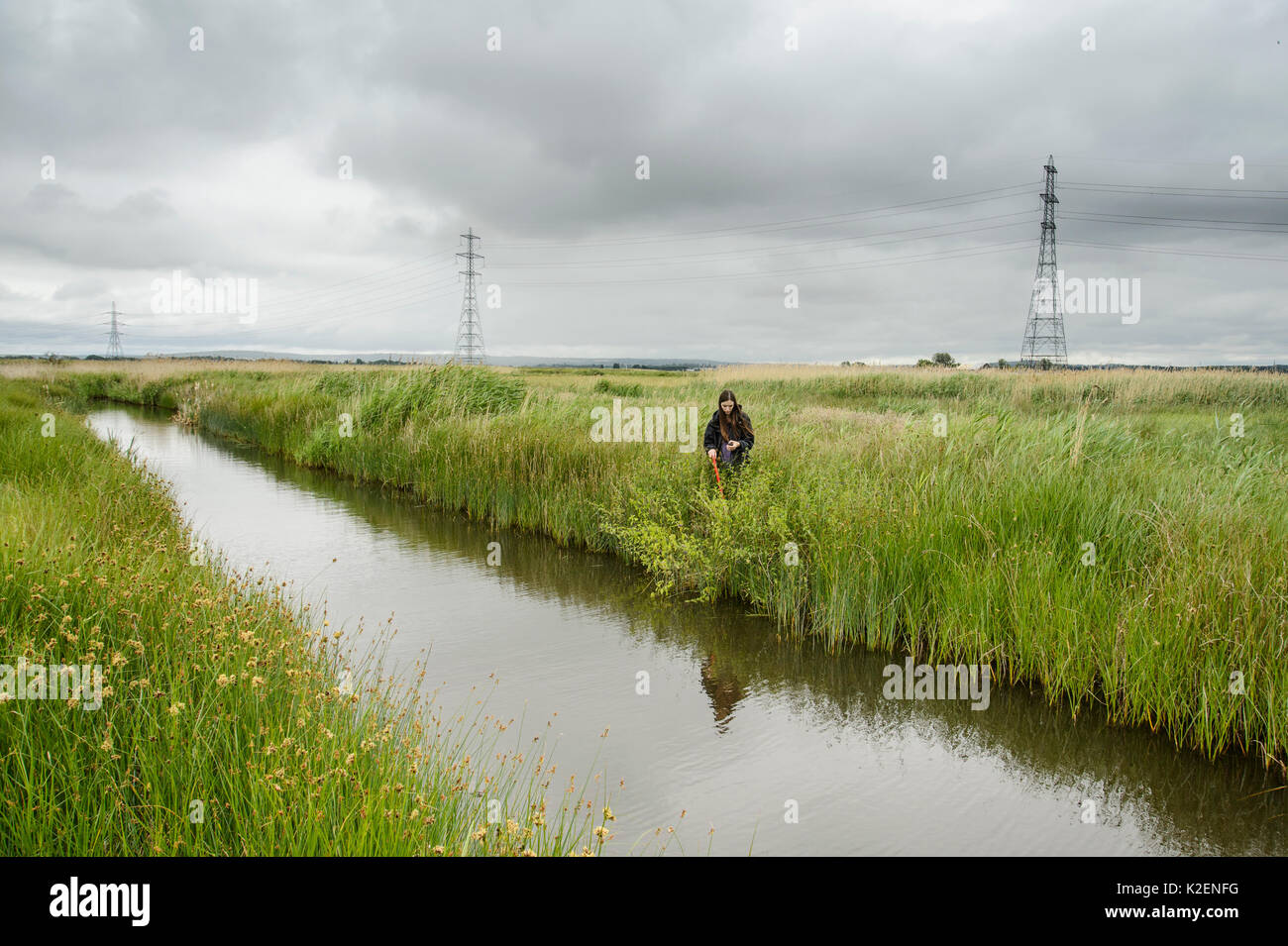 Chloe Sadler of Kent Wildlife Trust 'Water Vole Recovery Project' surveying for signs of Water voles (Arvicola amphibius). North Kent Marshes, UK, June. - Stock Image
