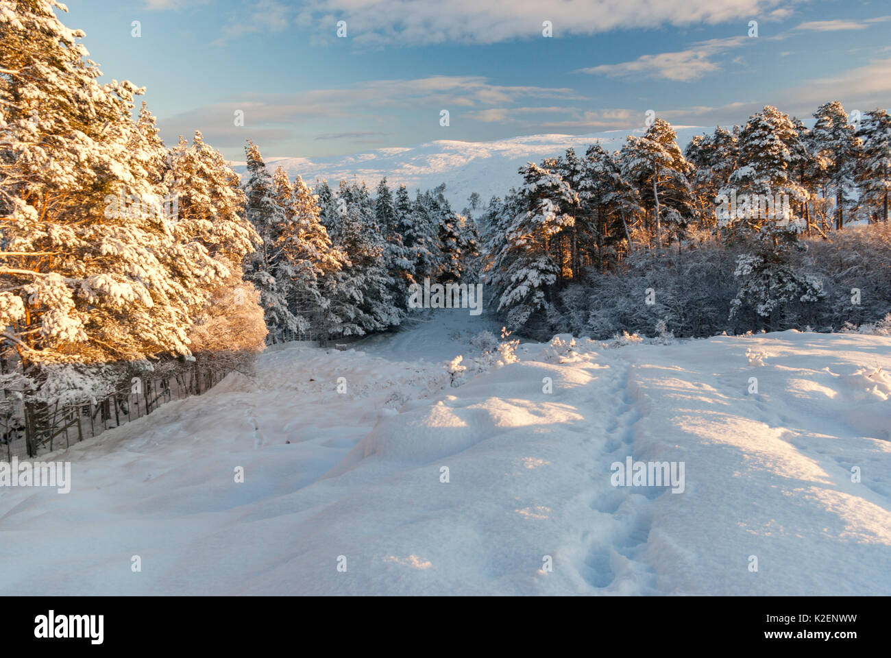 Forestry commission plantation in winter with snow, Rogart, Sutherland, Highlands, Scotland, UK - Stock Image