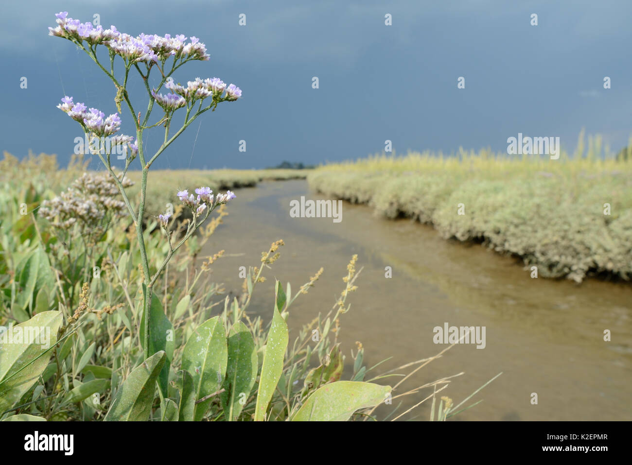 Common sea lavender (Limonium vulgare) flowering beside a saltmarsh creek bank, RSPB Arne, Dorset, July. Stock Photo