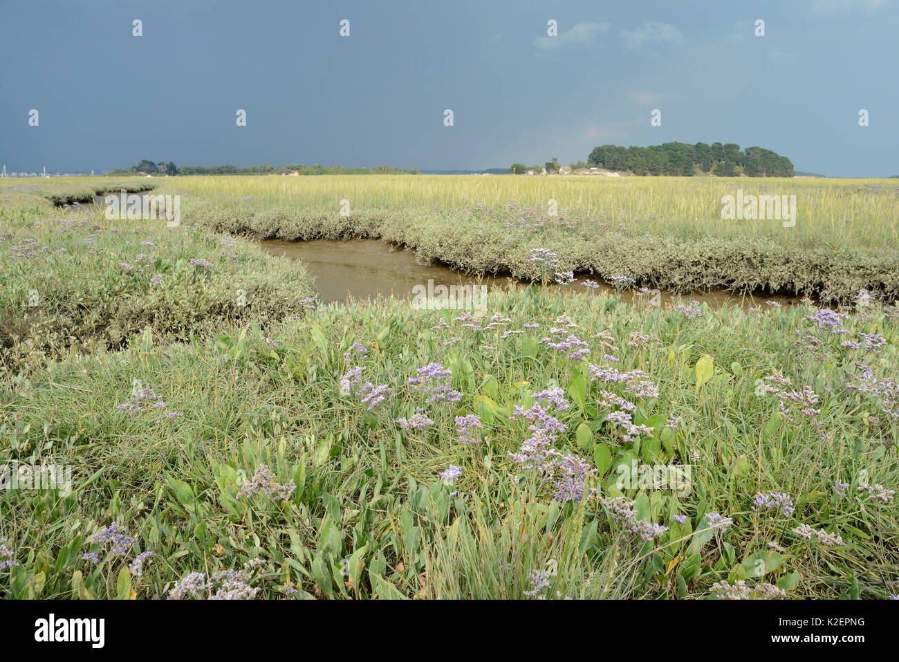 Common sea lavender (Limonium vulgare) flowering on a saltmarsh, RSPB Arne, Dorset, July. Stock Photo