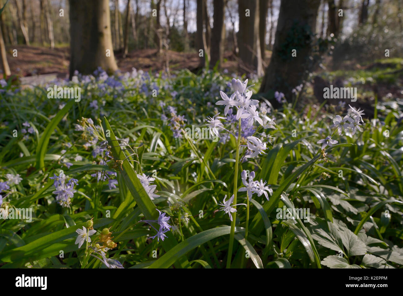 Carpet of Turkish Squill (Scilla bithynica) an invasive species from eastern Europe and Turkey naturalised in the Stock Photo