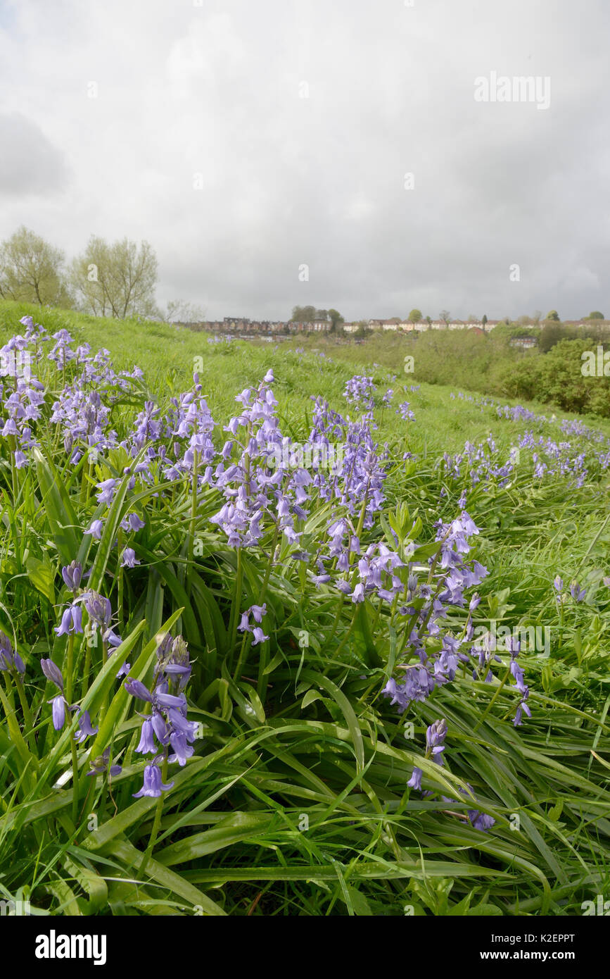 Clumps of Spanish bluebell (Hyacinthoides hispanica), an invasive species in the UK, flowering on urban waste ground, Salisbury, UK, April. - Stock Image
