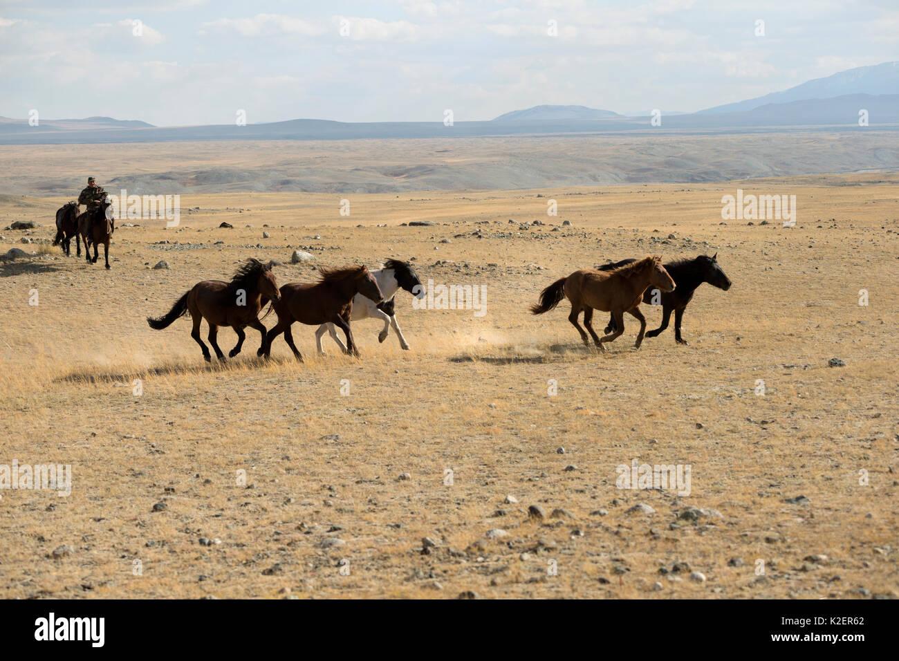 Horse breeder gathering band of wild Mongolian horses, plains at the foot of Dungurukh Uul mountain, near the border with China and Kazakhstan, Bayan-Olgiy aymag, Mongolia. September. - Stock Image