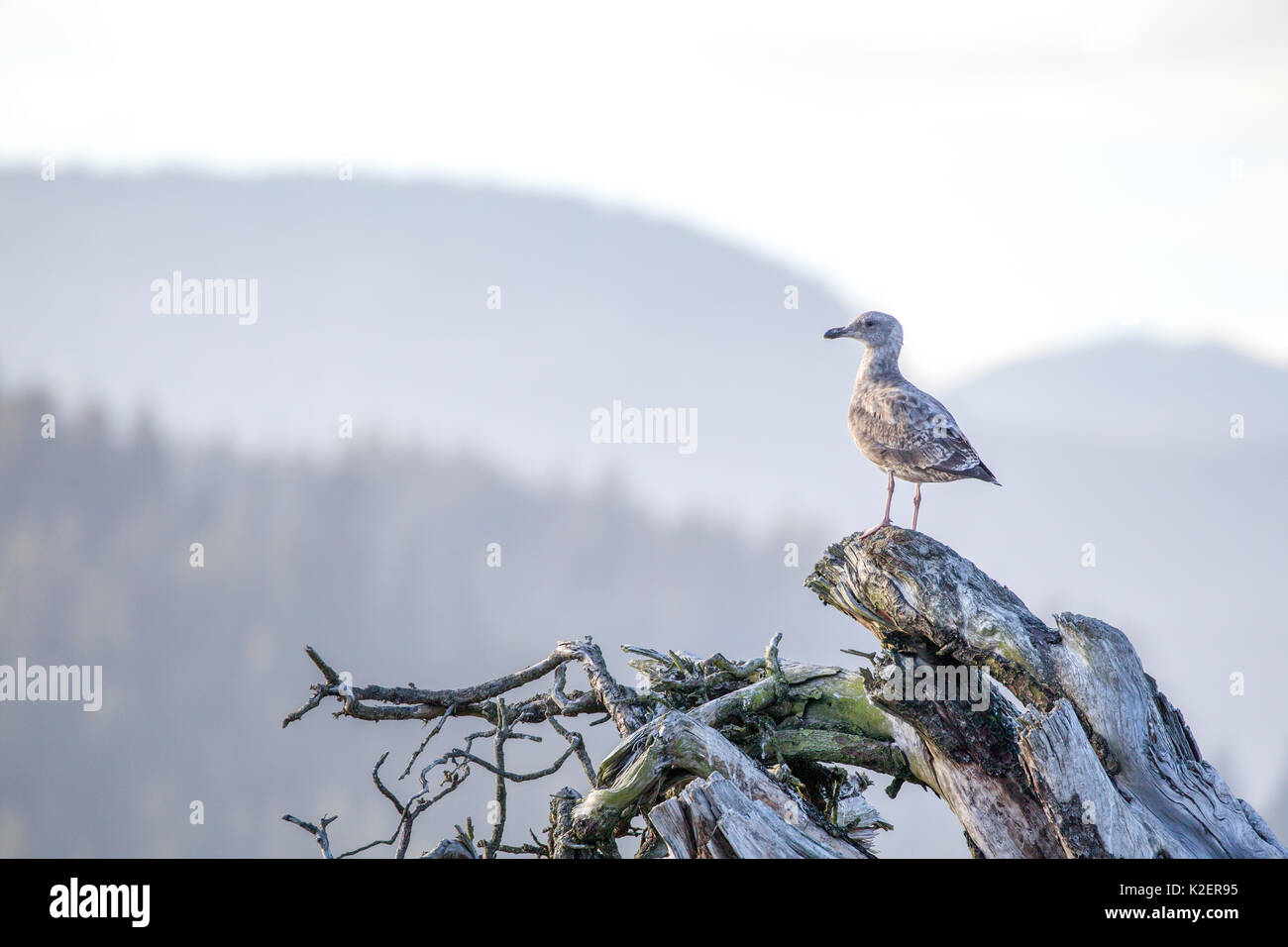 Juvenile Glaucous-winged gull (Larus glaucescens) sitting on a dead tree trunk at the beach of Port Renfrew on Vancouver Island, British Columbia, Can - Stock Image