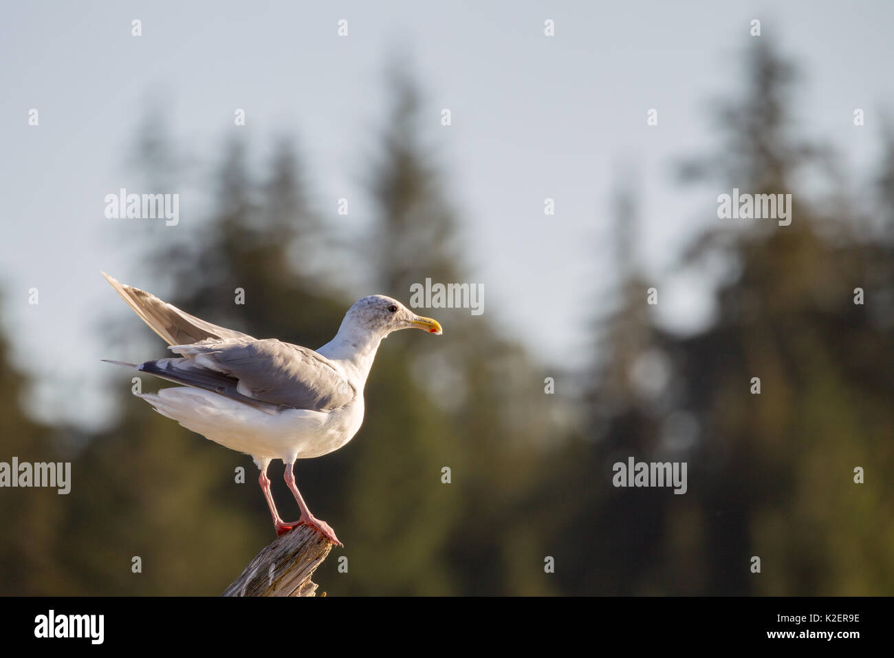 Glaucous-winged gull (Larus glaucescens) sitting on a tree trunk at the beach of Port Renfrew on Vancouver Island, British Columbia, Canada. - Stock Image