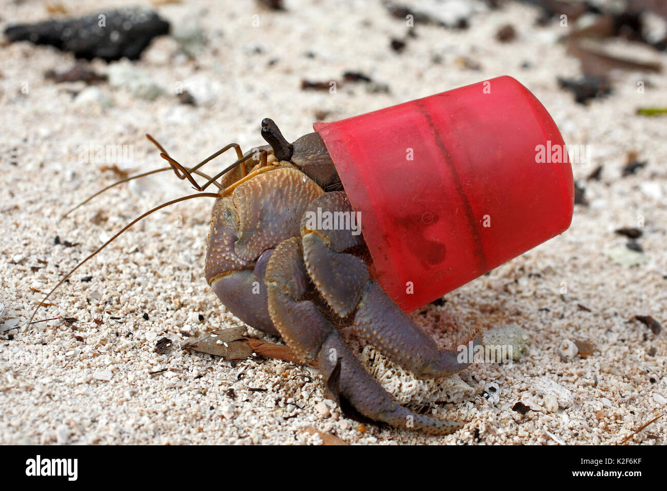 Terrestrial Hermit crab, Coenobita brevimanus, using a red bottle cap as a protective shell instead of the usual mollusk shell. - Stock Image