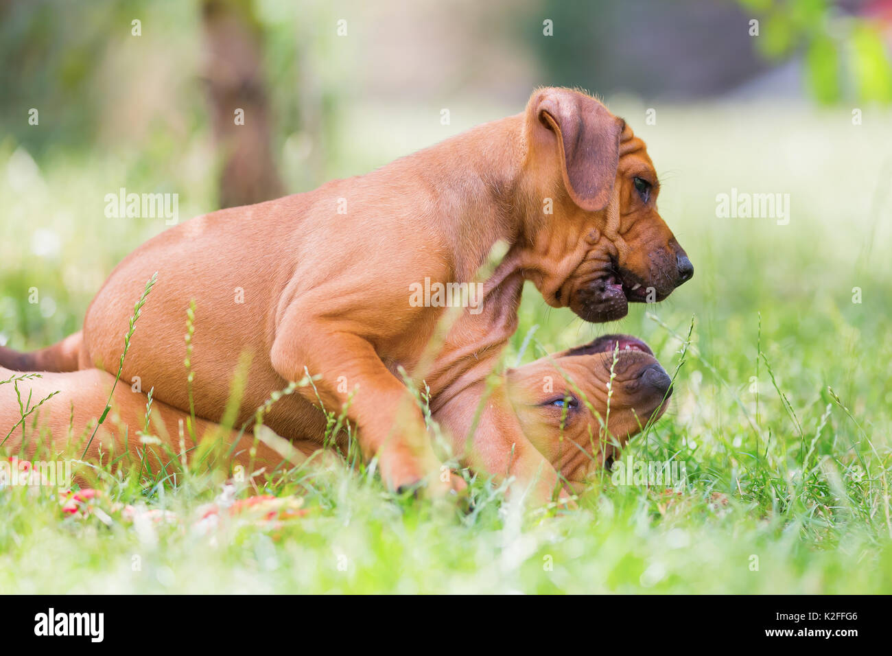 Puppies Playing Together Stock Photos & Puppies Playing