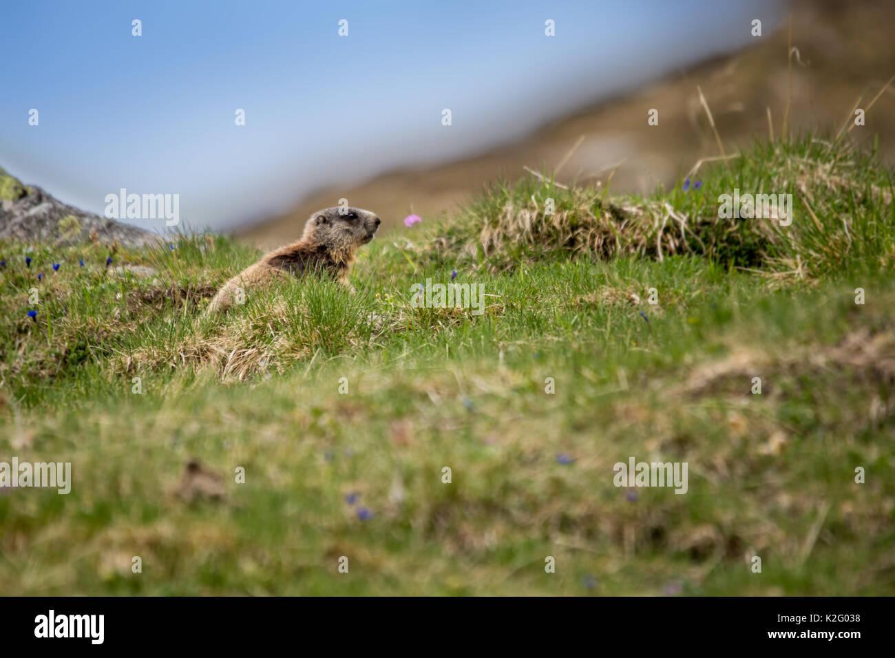 Baby Marmot Sitting on Meadow, European Alps, Italy - Stock Image