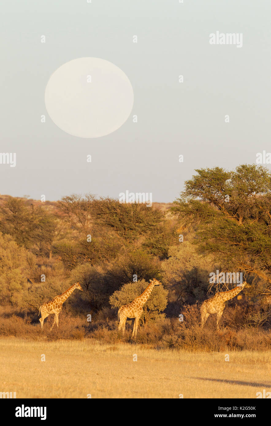 Southern Giraffe (Giraffa giraffa). Feeding in the dry Auob riverbed in the early morning. With full moon. Kalahari Desert, Kgalagadi Transfrontier Park, South Africa. - Stock Image