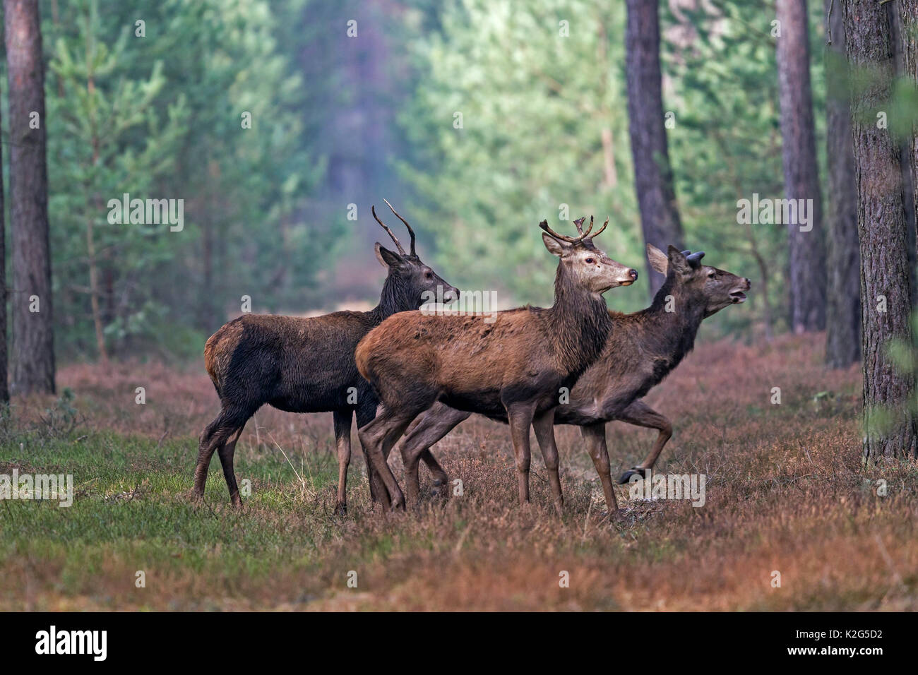 Red Deer ( Cervus elaphus) stags during summer, the antlers are shed each year, usually at the end of February and March - Stock Image