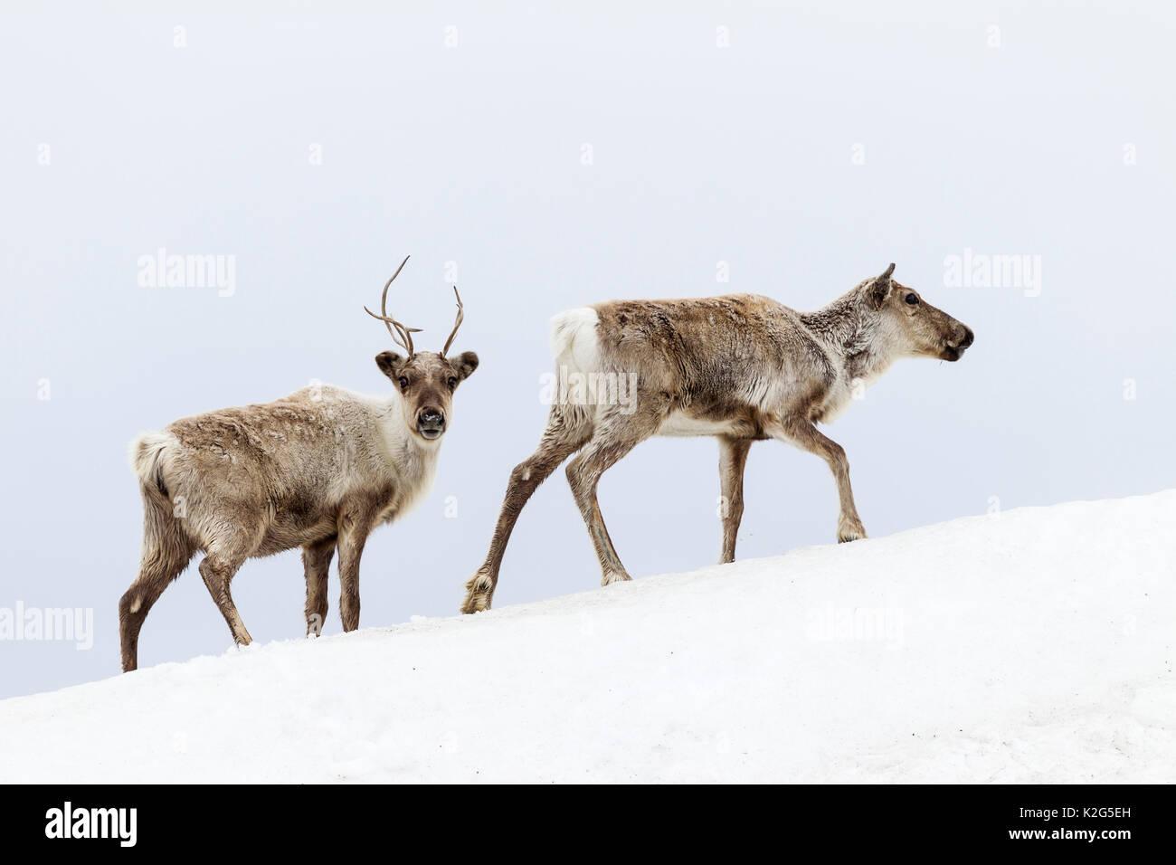 Reindeer (Rangifer tarandus),  two females in snowdrift - Stock Image