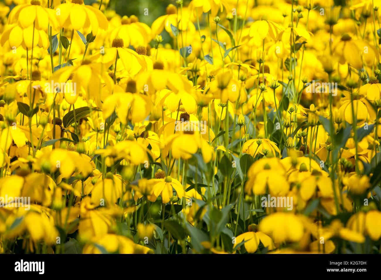 Bright Yellow Garden Perennial Flowers Rudbekia Stock Photo