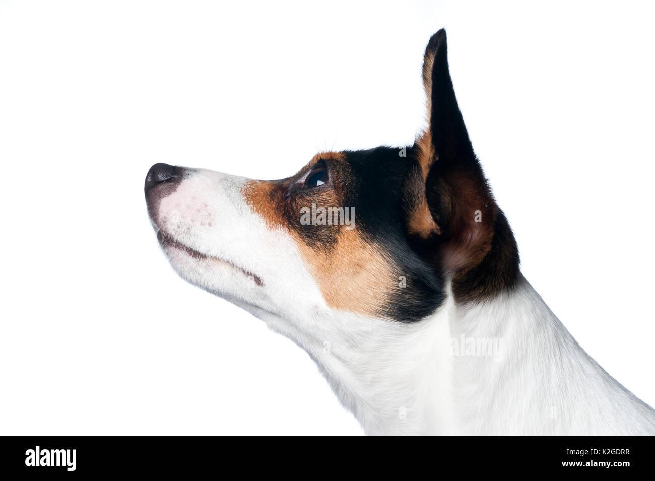 Danish / Swedish farm dog, Finland. Stock Photo