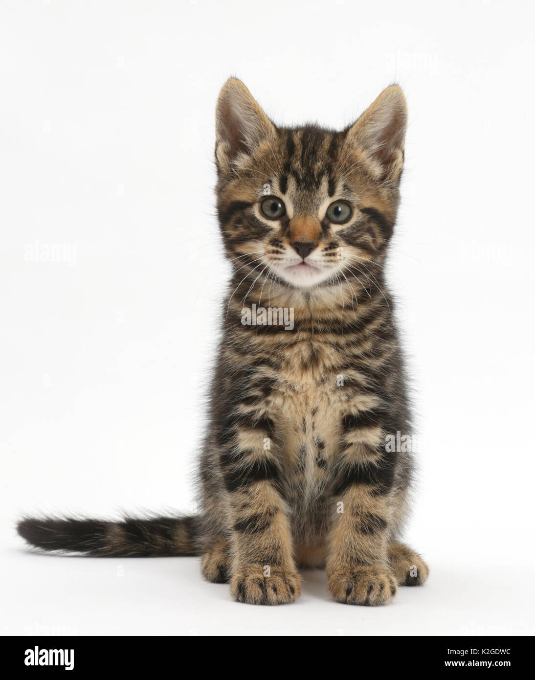 Tabby kitten, Smudge, 7 weeks, sitting. - Stock Image