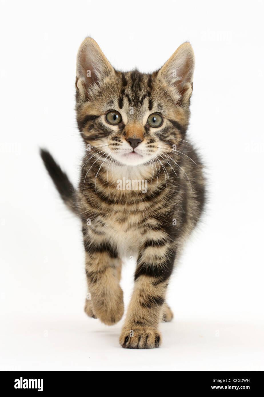 Tabby kitten, Smudge, 8 weeks, walking. - Stock Image